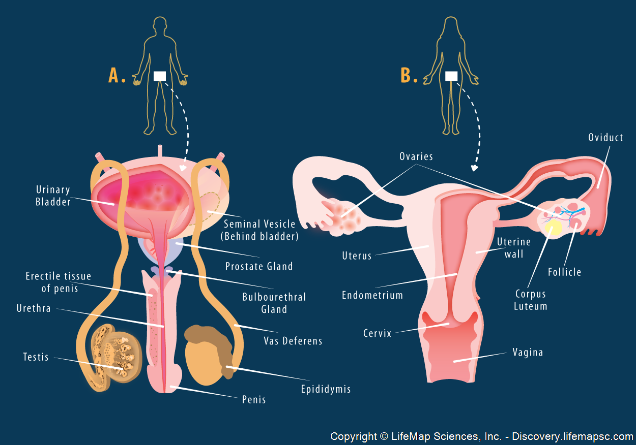 Reproduction In Humans Male And Female Reproductive Wiring Diagram